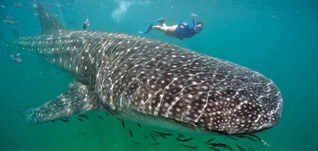 whale-sharks-631.jpg__800x600_q85_crop